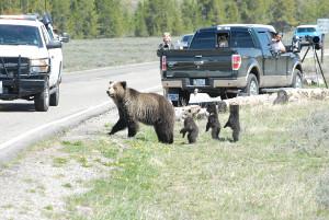 Grizzly-Bärin mit drei Jungen vor Überqueren der Straße