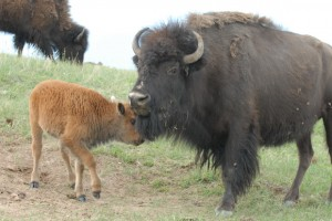 Mutter Bison mit Kalb im Custor Park in den USA