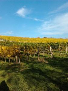 Diese Weintrauben in Südtirol sind durch die Kirschessigfliege bedroht