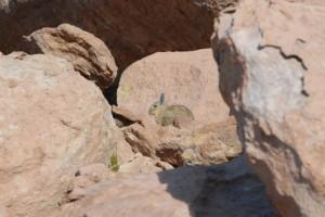Osterhase in der Atacama