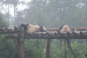 Chengdu: Große Pandas immer faul