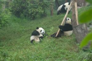 Chengdu: Kleine Pandas lieben Stangen