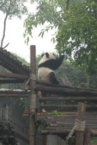 Chengdu: Kleiner Panda voll aktiv