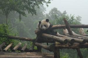 Chengdu: Kleiner Panda will nach oben