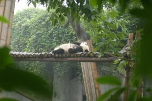 Chengdu: Kleiner Panda völlig platt