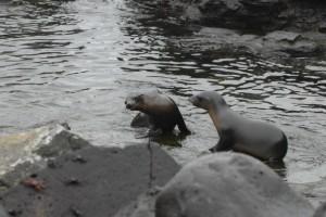 Galapagos: Schon die Kleinen kämpfen