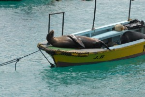 Galapagos: Seelöwe im Boot