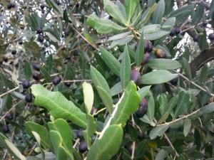 Gardasee: Reife Oliven
