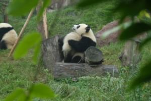 Chengdu: Kleine Pandas beim Knuddeln
