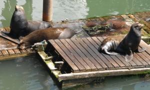 Newport: Noch Friede unter Seelöwen