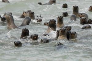 Paracas: Seelöwen drängen zum Touristen-Boot