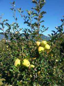 Vor der Apfelernte in Südtirol